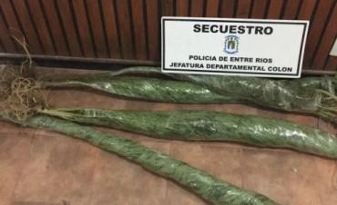 PROCEDIMIENTO EN COLON SECUESTRO DE PLANTAS DE MARIHUANA.
